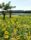 Free Photo - Sunflower Field