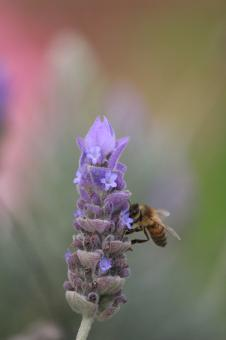 Bee on lavender - Free Stock Photo