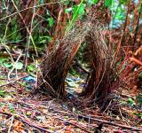 Free Photo - Bowerbird's Bower