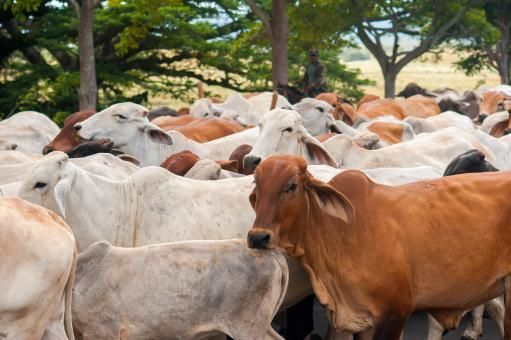 Nicaraguan Cattle  - Free Stock Photo
