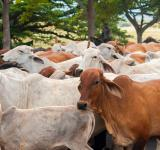 Free Photo - Nicaraguan Cattle