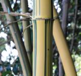 Free Photo - Golden Striped Bamboo Detail