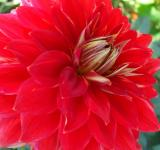 Free Photo - Bright Red Flower