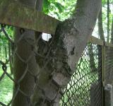 Free Photo - Tree grown into the fence