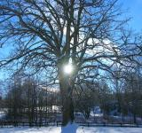 Free Photo - Oak Tree in winter