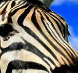 Free Photo - Zebra Profile Abstract