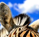 Free Photo - Zebra Ears Abstract