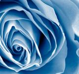 Free Photo - Blue Rose - HDR