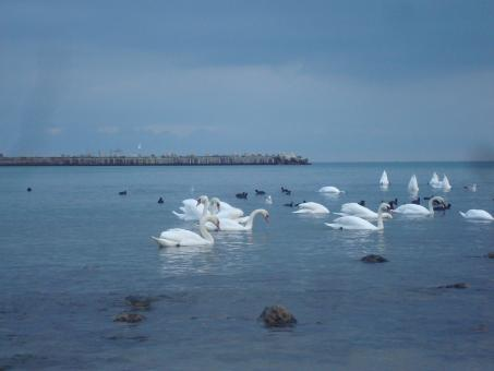 Swans at the Black Sea coast - Free Stock Photo
