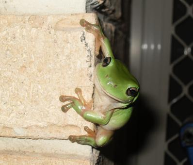 Green Frog - Free Stock Photo