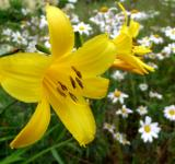 Free Photo - Yellow lilly