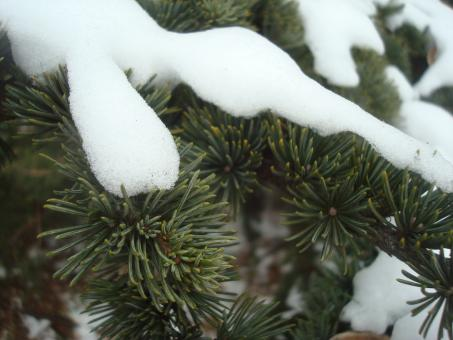 Snow on fir branches - Free Stock Photo