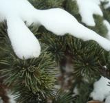 Free Photo - Snow on fir branches