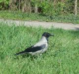 Free Photo - Crow on the grass