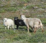 Free Photo - Icelandic sheep