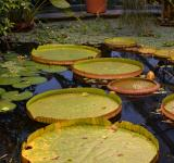 Free Photo - Giant lily leaves