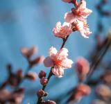 Free Photo - Pink Blossoms