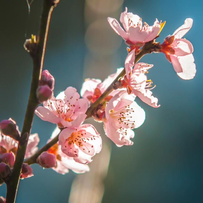Free Stock Photo of Pink Blossoms Created by agphotostock.com