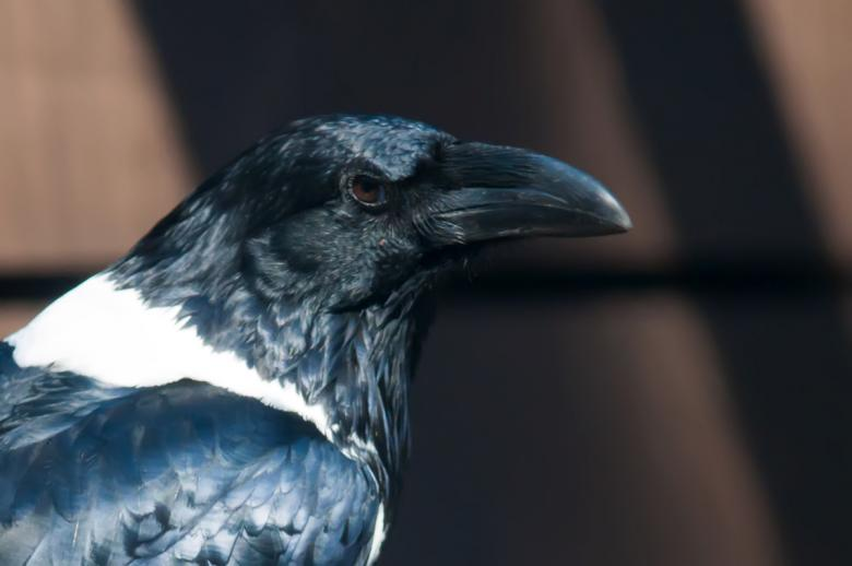 Free Stock Photo of Raven Created by agphotostock.com