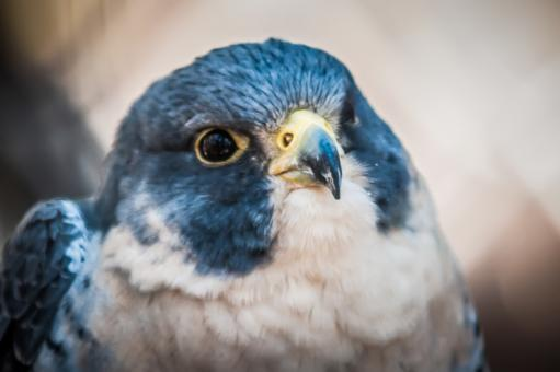 Hawk - Free Stock Photo
