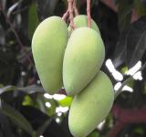Free Photo - Bunch of Mangoes