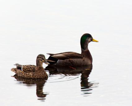 Ducks - Free Stock Photo