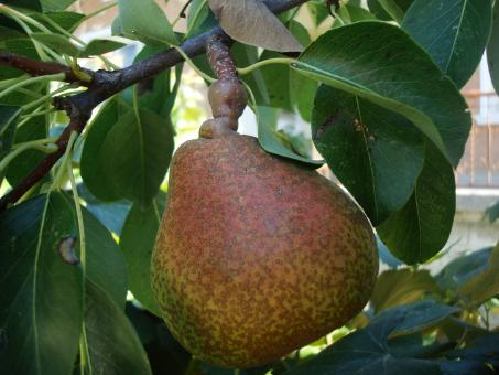 Pear on a tree - Free Stock Photo