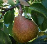 Free Photo - Pear on a tree