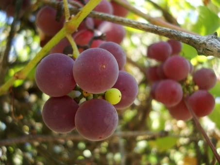 Grapes on a vineyard - Free Stock Photo