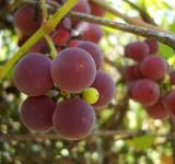 Free Photo - Grapes on a vineyard