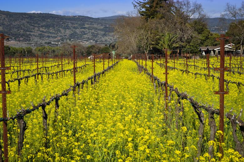Free Stock Photo of Napa Vineyard Created by Rachael Towne