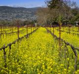 Free Photo - Napa Vineyard