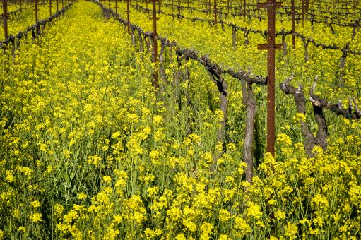 Napa Vineyard - Free Stock Photo
