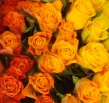 Free Photo - Colorful roses wallpaper