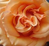Free Photo - Orange rose closeup