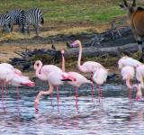 Free Photo - Flamingos, zebras and a wildebeast