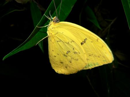 Yellow butterfly - Free Stock Photo