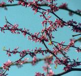 Free Photo - Pink blossoms in the sky