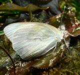 Free Photo - White butterfly with dew drops