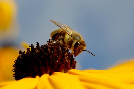 Bee on flower - Free Stock Photo