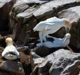 Free Photo -  Gannet
