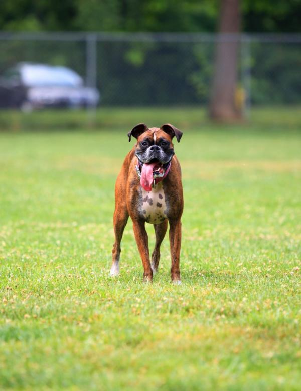Free Stock Photo of Boxer Created by Tim Fitch
