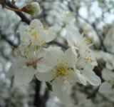 Free Photo - Wet white blossoms