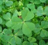Free Photo - Clover leafs