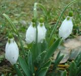 Free Photo - Wet snowdrop flowers