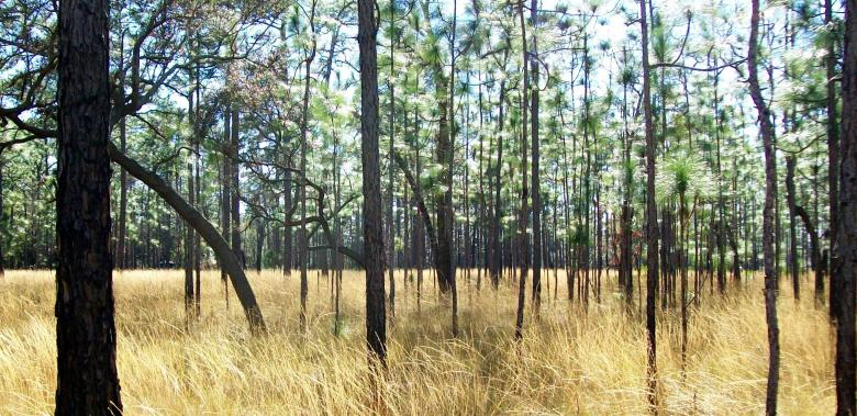 Pine Forest - Free Forest Stock Photos