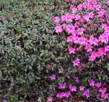 Free Photo - Flowering Hedge