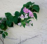 Free Photo - Lavender Bougainvillea Plant