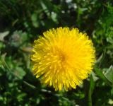 Free Photo - Yellow dandelion flower