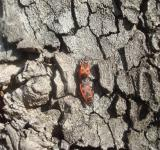 Free Photo - Bugs mating on a tree